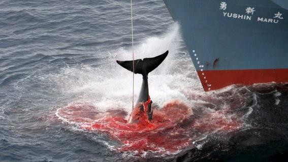 japon ha cazado 177 ballenas 1