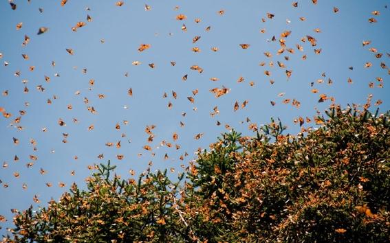 leyenda mariposas monarcas 2