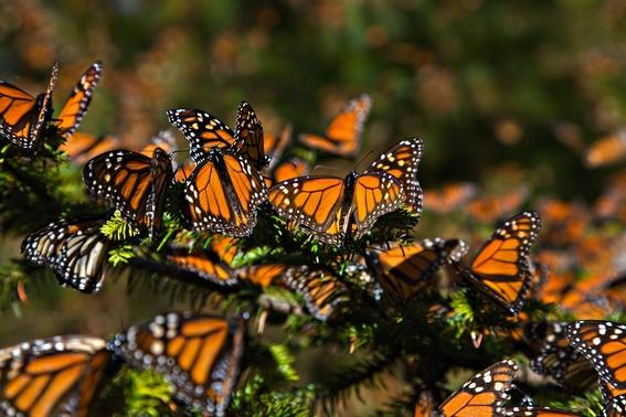 leyenda mariposas monarcas 3