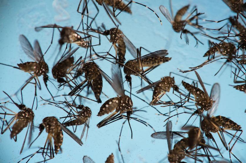 ¿Los mosquitos podrían acabar con la humanidad? 0