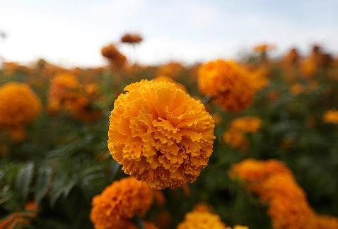 flor de cempasuchil 3