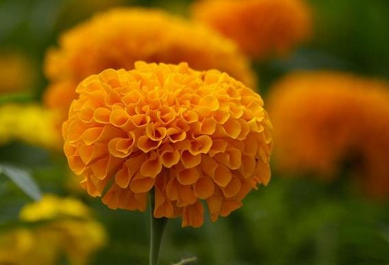 flor de cempasuchil 4