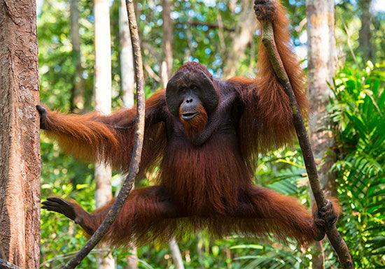 nueva raza de orangutanes en indonesia 1
