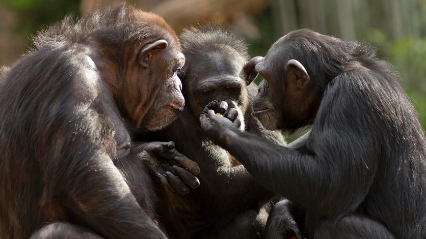 Las nuevas costumbres de los simios explican la evolución de los humanos 1