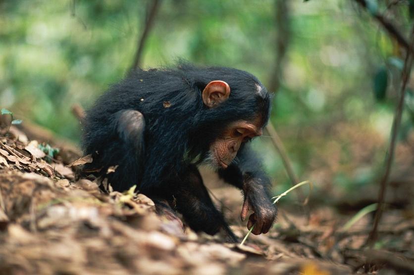 Las nuevas costumbres de los simios explican la evolución de los humanos 3