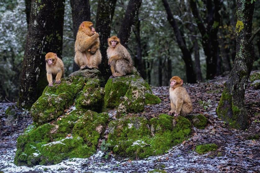 Las nuevas costumbres de los simios explican la evolución de los humanos 2