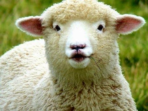 ovejas pueden reconocer caras humanas 1