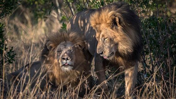 kenia culpa a homosexuales por leones machos gay 1