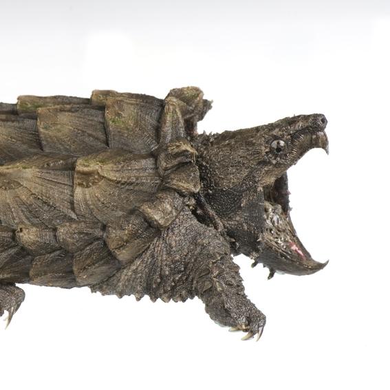 descubren tortuga cocodrilo en illinois 1