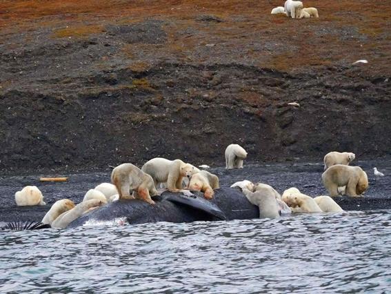 osos polares en una isla del artico 1