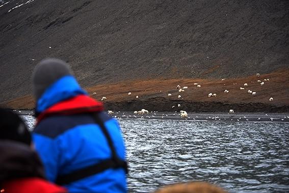 osos polares en una isla del artico 2