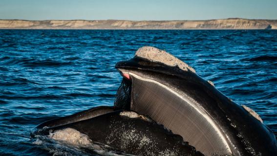 escasez de hembras de ballena franca podria provocar su extincion 1