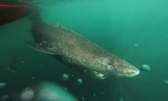 tiburones de groenlandia son los vertebrados mas antiguos sobre la tierra 2