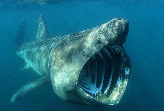tiburones de groenlandia son los vertebrados mas antiguos sobre la tierra 1