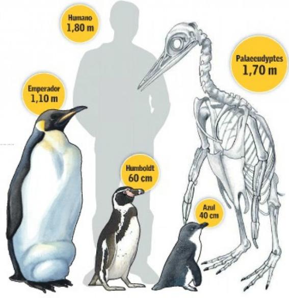 descubren fosil del pingüino mas grande 1