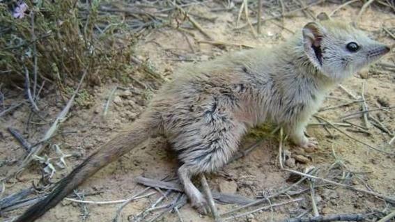 marsupial que creian extinto es visto en australia 1