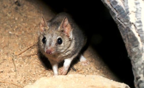 marsupial que creian extinto es visto en australia 2