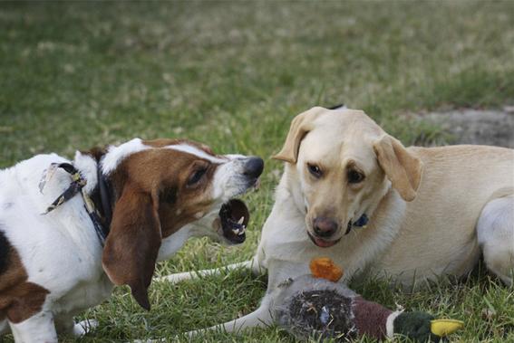 perros pitbull atacan a su duena 3