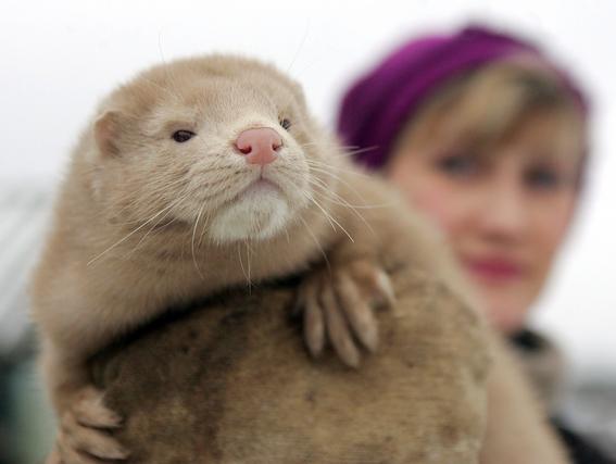 noruega prohibira produccion de pieles de animales 2