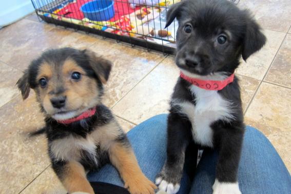 cosas que debo saber antes de adoptar un perro 6