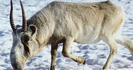 bacteria esta acabando con los antilopes saiga 2