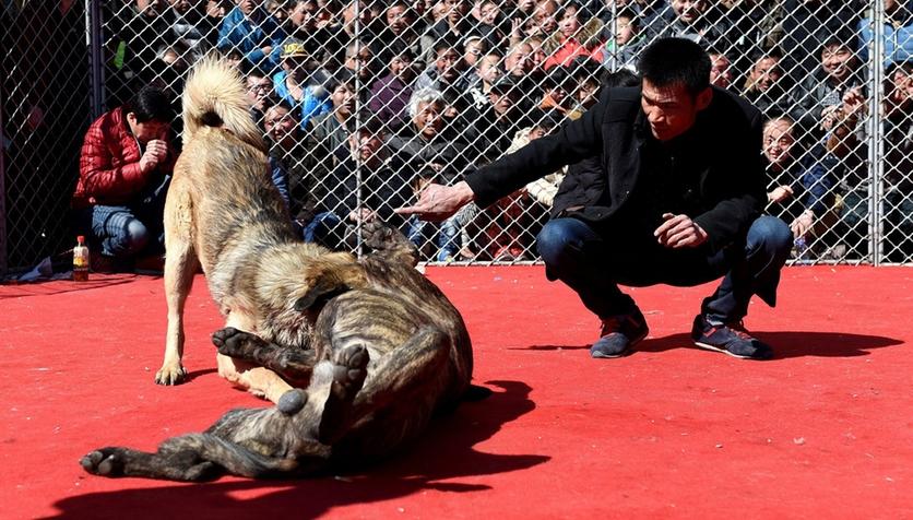 Fotografías sobre el repulsivo mundo de las peleas de perros en China 0