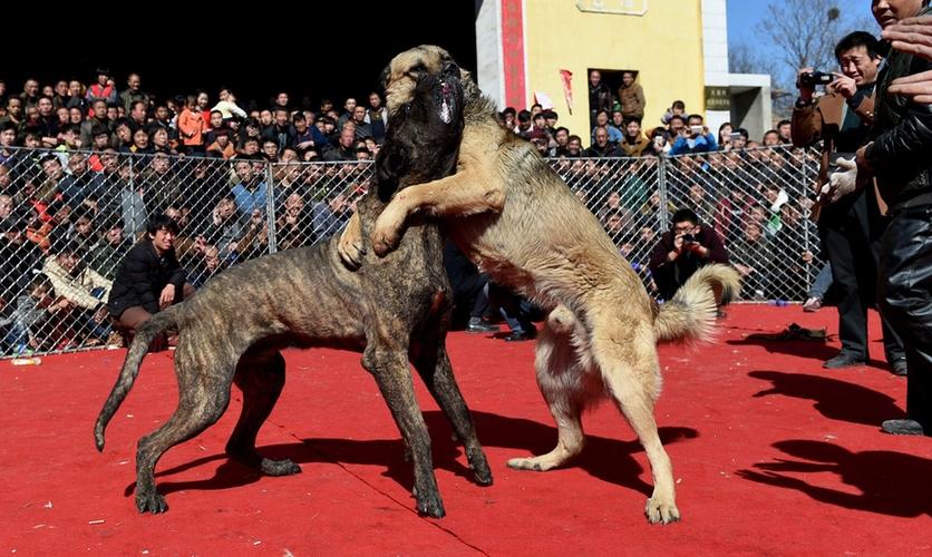 Fotografías sobre el repulsivo mundo de las peleas de perros en China 1