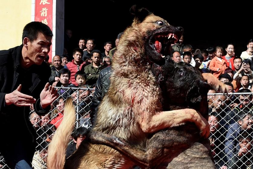 Fotografías sobre el repulsivo mundo de las peleas de perros en China 3