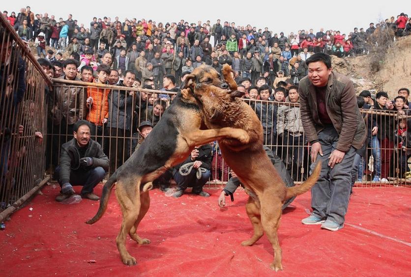 Fotografías sobre el repulsivo mundo de las peleas de perros en China 5