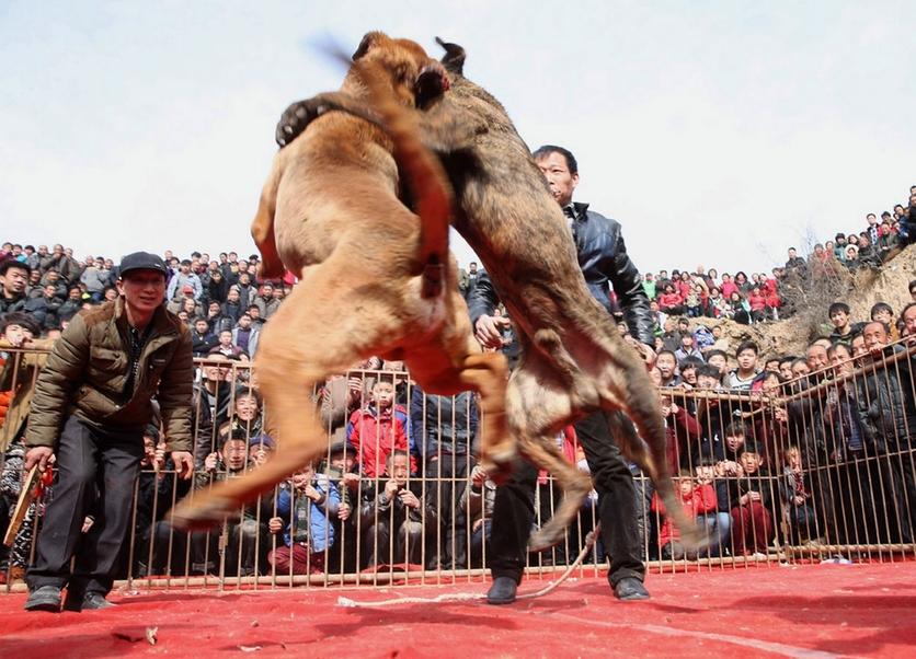 Fotografías sobre el repulsivo mundo de las peleas de perros en China 7