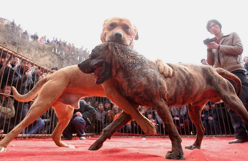Fotografías sobre el repulsivo mundo de las peleas de perros en China 9