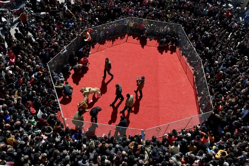 Fotografías sobre el repulsivo mundo de las peleas de perros en China 2