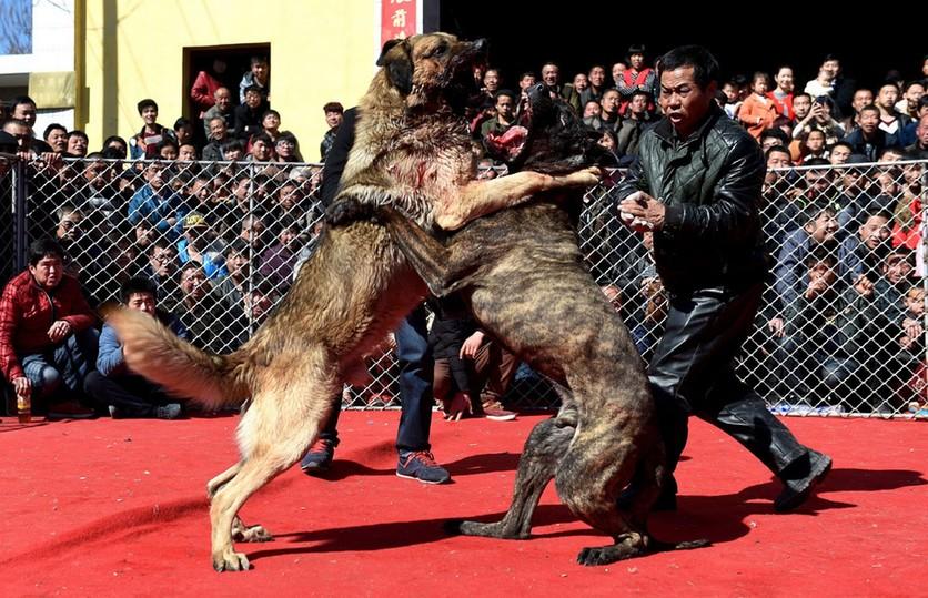 Fotografías sobre el repulsivo mundo de las peleas de perros en China 4