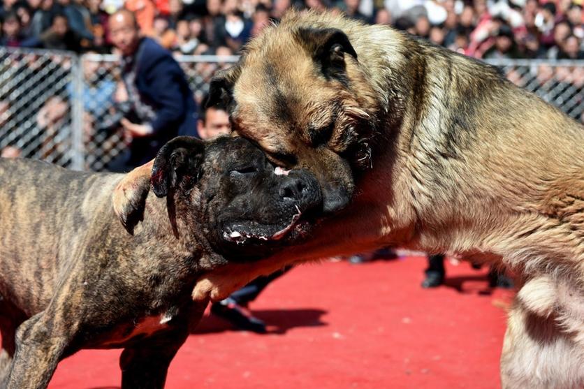 Fotografías sobre el repulsivo mundo de las peleas de perros en China 6
