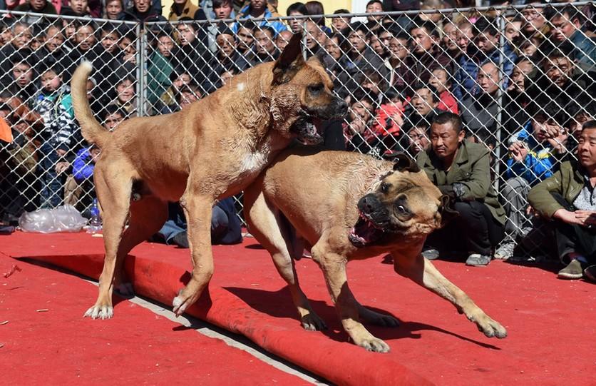 Fotografías sobre el repulsivo mundo de las peleas de perros en China 8