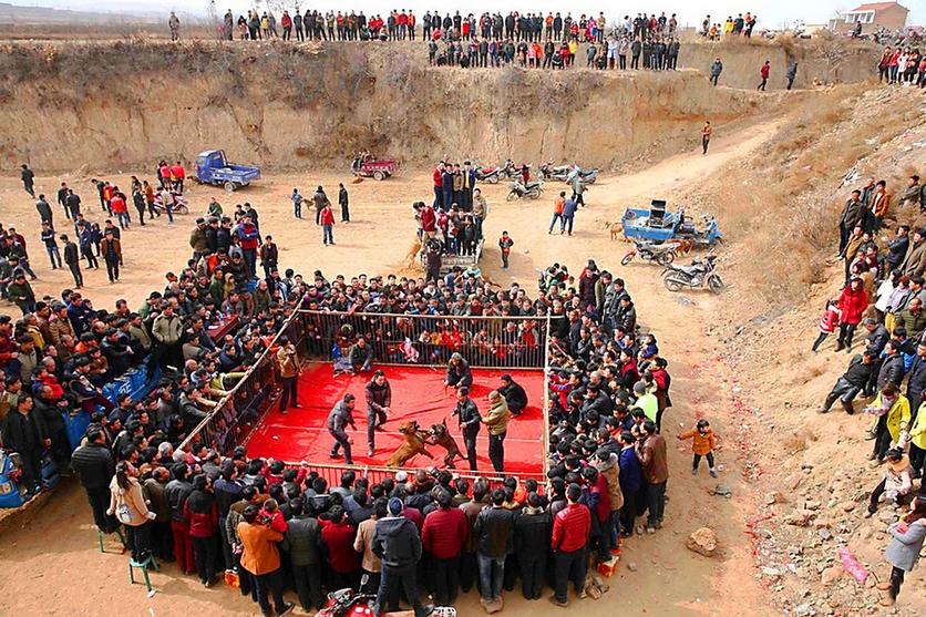Fotografías sobre el repulsivo mundo de las peleas de perros en China 10