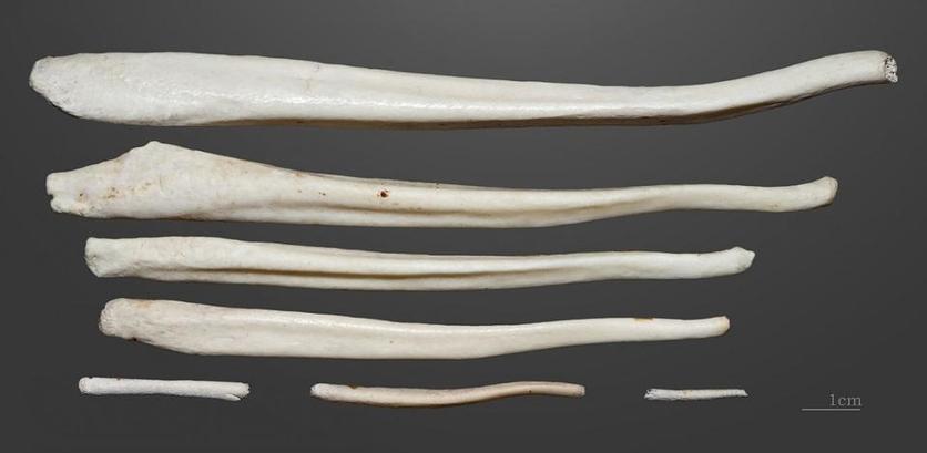 Baculum, el hueso en el pene que perdimos con la evolución 0