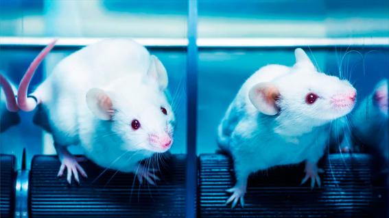 cientificos inventan parche contra la obesidad sin dieta ni ejercicio 1