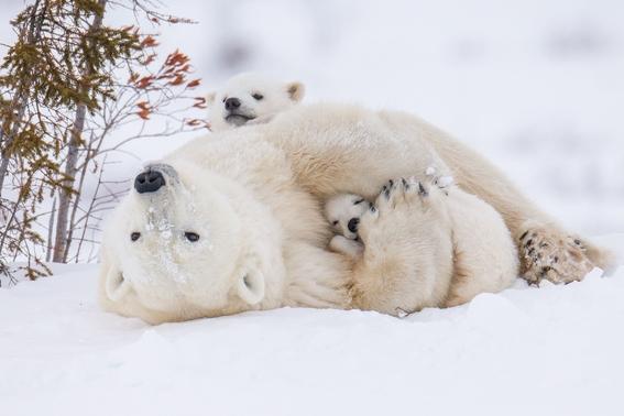 testigos de la extincion de los oso polares 4