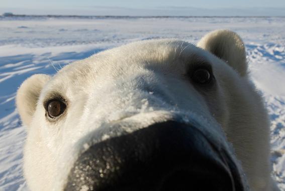testigos de la extincion de los oso polares 1