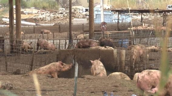aceptan granja irregular de cerdos cenote yucatan 2