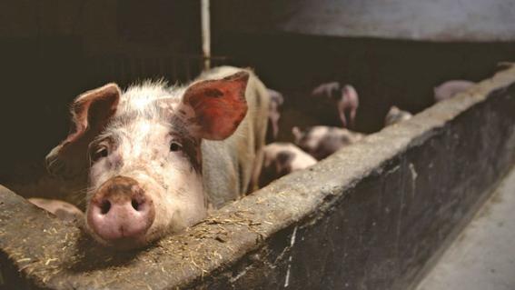 epidemia de gripe porcina en corea del norte 1