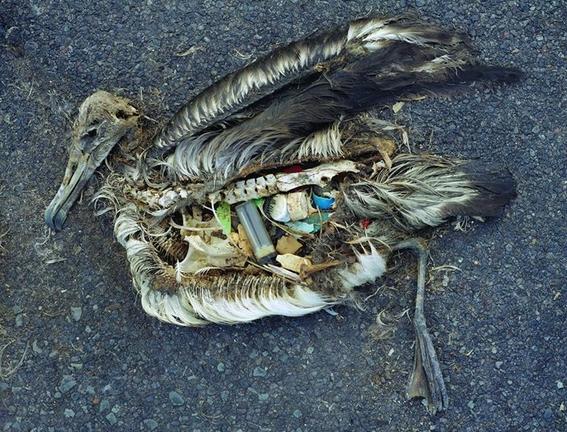 peces del oceano atlantico tienen plastico 1