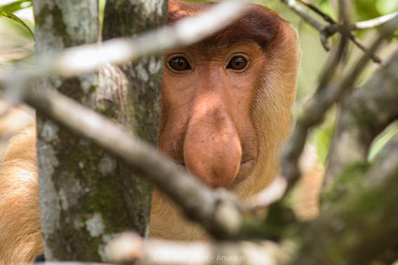 descubrimiento cientifico sobre los monos nasicos 1