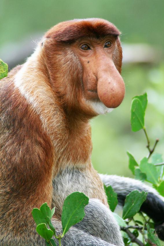 descubrimiento cientifico sobre los monos nasicos 2