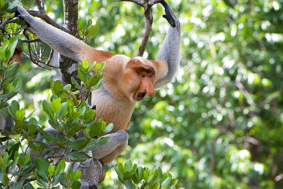 descubrimiento cientifico sobre los monos nasicos 3
