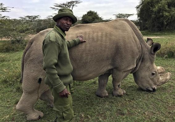 empeora salud del ultimo rinoceronte blanco 1