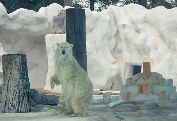 yupik osa polar en riesgo por iniciativa 1