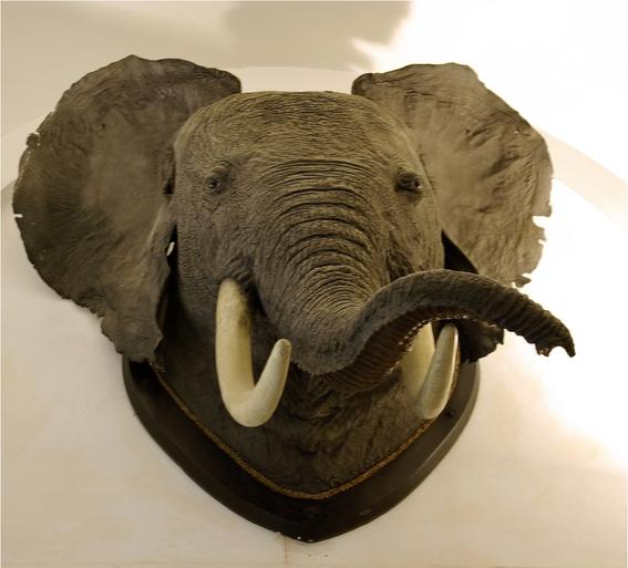 eua permite importacion de trofeos de elefante 1