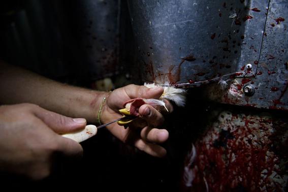 fotografias sobre la violencia en los mataderos de aitor gaarmendia 1